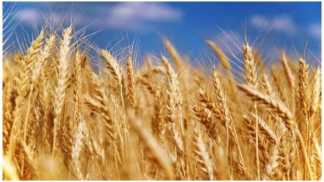 Правительство РФ отменило пошлину на экспорт пшеницы