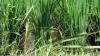 Весь посев риса в Крыму погиб из-за дефицита воды