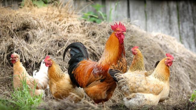 Минсельхоз: птицеводы РФ не ждут дефицита и перебоев поставок