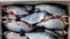 В Петербург не пустили 27 т эквадорской рыбы