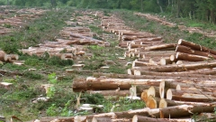 В Новгородской области вырубят 1200 га леса для строительства трассы