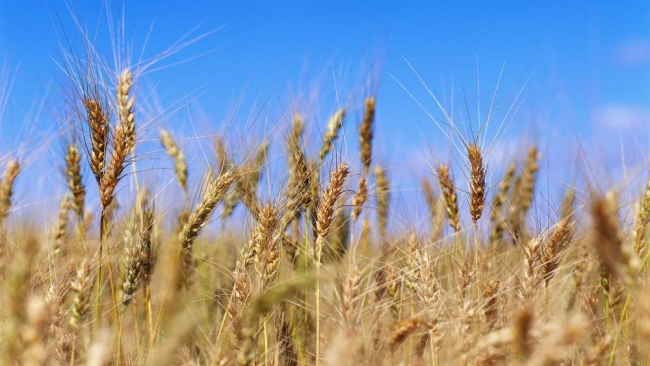 Россию засеют зерновыми с ГМО