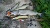 Производство рыбы в Ленобласти увеличится в два раза ...