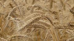 Минсельхоз: сбор пшеницы в РФ станет вторым после рекордного 2017 года