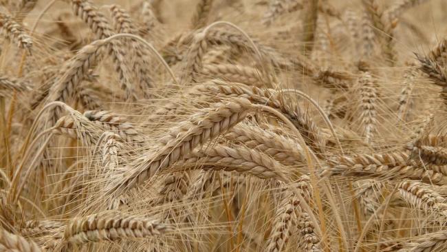 В России резко подорожала пшеница
