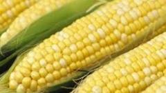 В Петербурге уничтожили 20 тонн зараженной американской кукурузы