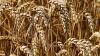 Коронавирус привел к снижению мировых цен на зерно