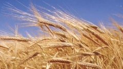 Пошлины на зерно будут рассмотрены в 2012 году