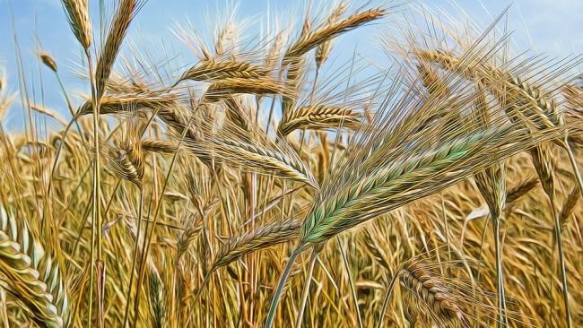 Северной столице хлебный дефицит не грозит