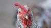 Птичий грипп: в Китае появился новый штамм