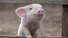 Россельхознадзор не пустил в Петербург 22 тонны свиных субпродуктов из Швейцарии