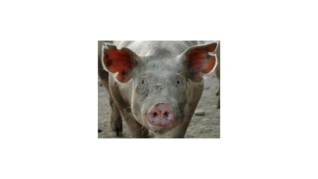 У свиней в Воронеже обнаружили африканскую чуму