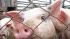 Российская граница из-за вируса закрывается для рогатого скота и свиней из Евросоюза