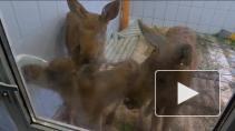 Детский сад для лосят и другие проекты центра реабилитации диких животных