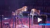 """Цирк Тоньи """"на удалёнке"""": как итальянские артисты, а также слоны, тигры и кенгуру живут в режиме самоизоляции"""