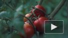 Минсельхоз попросил временно ограничить импорт томатов