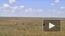 Лошади Пржевальского - исчезнувший вид копытных возвраща ...