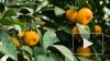 Врачи предупредили об опасности переедания мандаринов