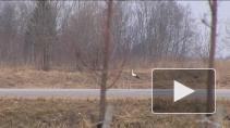 Аисты рядом с нами: вестники благополучия и добра вернулись с зимовки в Ленобласть