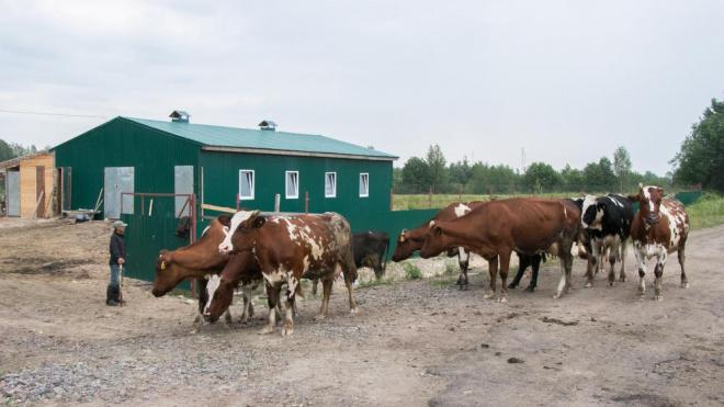 В Выборгском районе ведет деятельность 91 фермерское хозяйство
