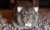 Крысы обглодали лицо трупу бомжа на улице Московская-Сортировочная