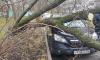 На Светлановском проспекте упавшее старое дерево повредило две легковушки