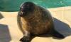 Тюлень Гоглик вернулся в море для самостоятельной жизни