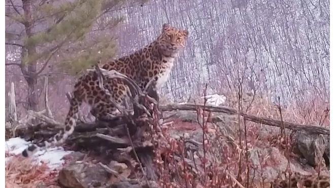 Встреча краснокнижных леопардов с неизвестным зверем попала на видео