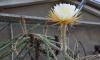 """Ботанический сад приглашает петербуржцев на цветение """"Царицы Ночи"""""""