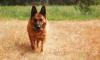Героический пес из Кемерово преследовал преступника несколько километров