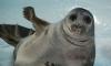 """В """"Доме ребенка"""" для тюленей и нерп - новые пациенты"""