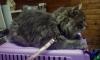 Влюбленный котэ из Швеции пересек всю Европу ради кошки-парижанки