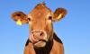 Выборгские фермеры стали самыми активными на ярмарке скота в Энколово