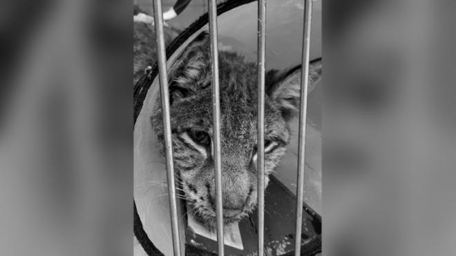 Спасенная в Агалатово рысь скончалась после тяжелой болезни
