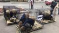 """К редакции """"Новой газеты"""" подбросили клетки с овцами"""