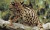 Ученые обнаружили на территории Бразилии новый вид диких кошек