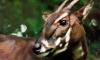 Редчайшее и недавно открытое млекопитающее попало в кадр фото-ловушки