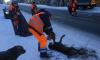 В Ленобласти произошло смертельное ДТП: автомобилист наехал на стаю собак