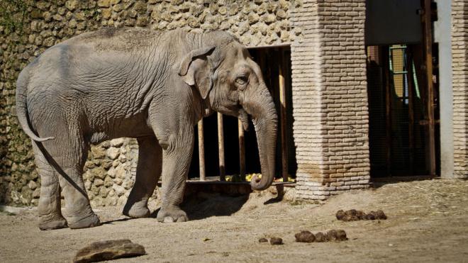 В Испании скончалась 43-летняя слониха Флавия