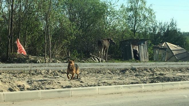 Очевидцы: у Муринской дороги гуляет лось