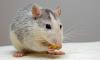 В Петербурге для женщин за рулем мошенники готовят крысиную ловушку