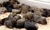 В «Народном» пенсионерке продали рыбу, обглоданную крысами