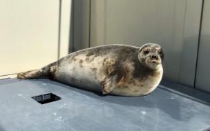 Зоологи показали фото повзрослевшей нерпы Ксюши