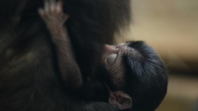 В Ленинградском зоопарке показали новорожденного макака