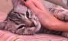 """Приют """"Преданное Сердце"""" не отдает петербургской семье породистого кота"""