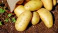 Лукашенко нашел спасение в картофеле