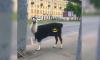 БэтЛама вышла на улицы Васильевского острова