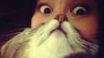 Новый кошачий мем - котобороды набирают популярность ...