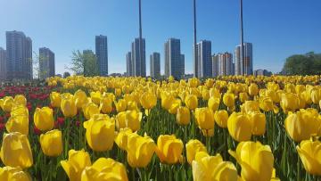 В парках и на магистралях Петербурга распустились тюльпаны