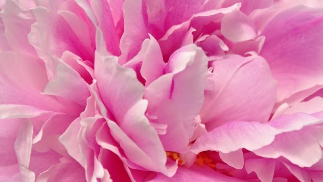 В Петербурге изъяли партию голландских тюльпанов с вредителем